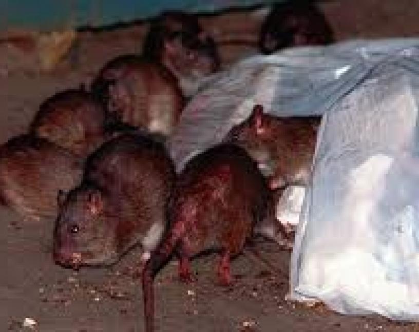 Las ratas como bioindicadores de la resistencia antimicrobiana en ciudades