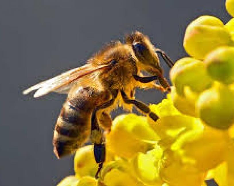 Nadie sabe que les sucede exactamente a las abejas