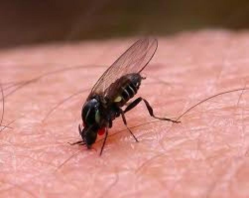 Las mordeduras de la mosca negra vuelven este verano