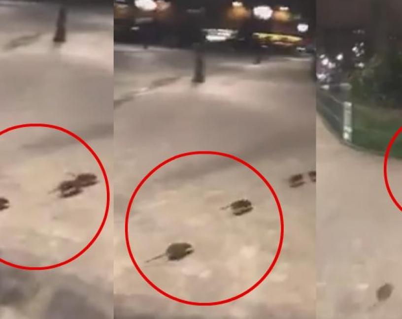 ¿Están conquistando las ratas París?