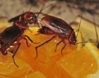 Las cucarachas no se alimentan al azar