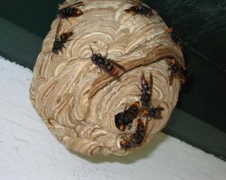 Detectado por primera vez un nido de avispa asiática en el Baix Llobregat