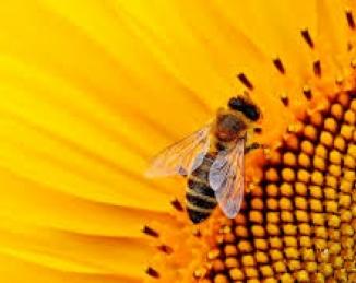 Una vacuna para las abejas contra el