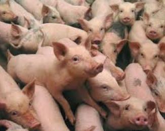 Detección de enfermedades en granjas porcinas