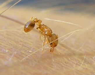 Una hormiga invasora que pica a los humanos, descubierta por primera vez en España