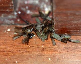 Termita al fipronil, un nuevo cebo para controlar a las hormigas invasoras