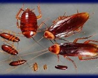 Cucarachas: consejos de la ASPB para prevenir infestaciones