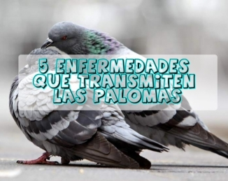 Las palomas son causa de diferentes tipos de enfermedades