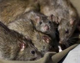 Barcelona desarrolla el primer censo de ratas del mundo