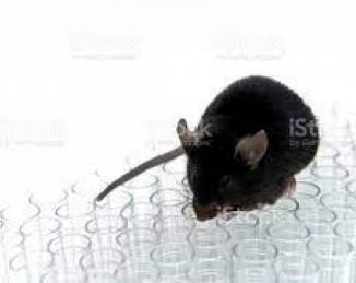 La variante Beta va más allá de los humanos e infecta también ratones, a diferencia del SARS-CoV-2 original